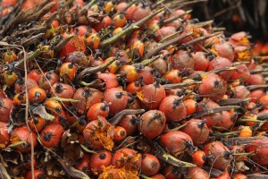 huile de palme REPORTERRE